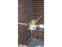Plumhead Alexander parrot