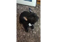 KC registered french bulldog