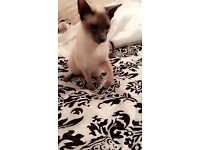 Beautiful blue point male Siamese cat for sales