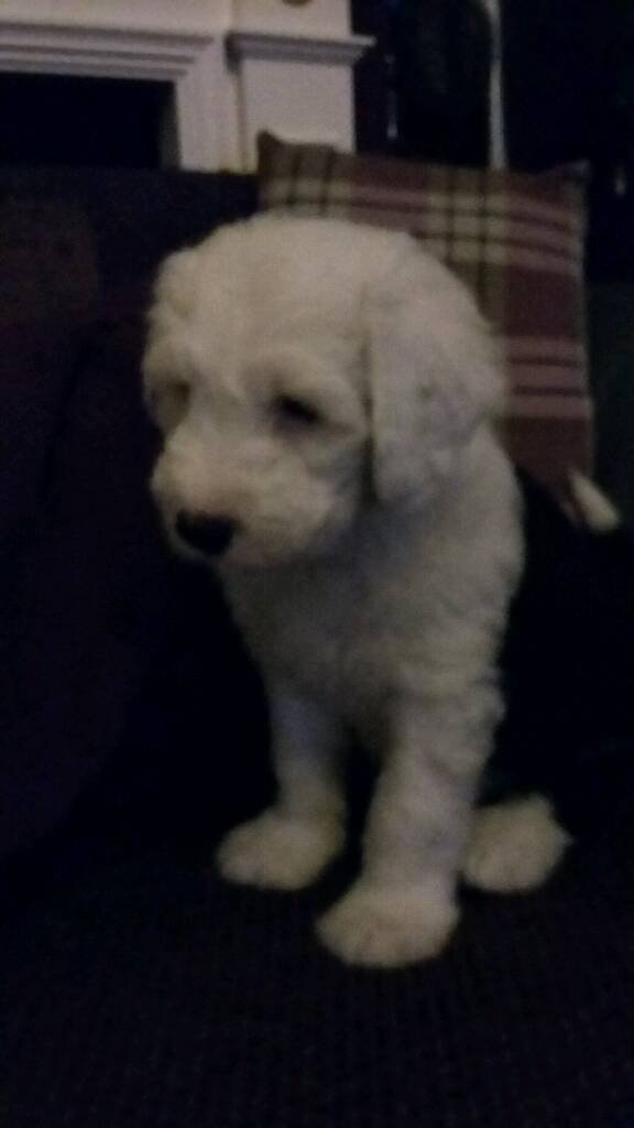O.E.S. Male pup looking for his forever home