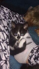 2 black and white kittens 1 boy 1 girl
