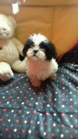 Black & white and brown and white shih tzus For sale