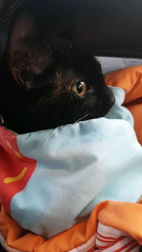Tortoise kitten for sale