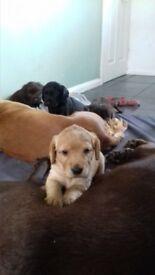Cockador puppies for sale £450