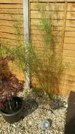 2x bamboo plants