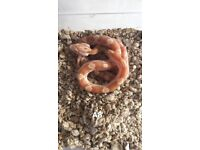 Corn snakes hatchlings 2018