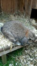 Two male rabbits for sale
