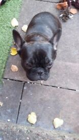 6 month old french bulldog