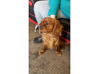 ruby cavalier king charles for sale