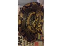 Female Enchi 2012 ball python snake
