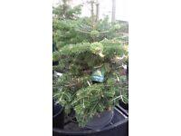 Various Pot Grown Spruce/Pot Grown Nordman Fir Trees