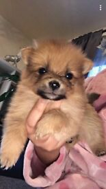 14 week old Pomeranian puppies for sale £600 each 1 girl and 1boy left