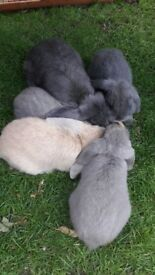 Dwarf Lop Eared rabbits for sale