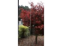 Acer tree absolutely beautiful £500 ono