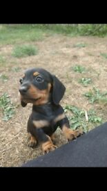 Miniature short haired Dachshund puppies