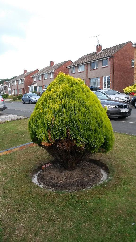Small garden tree for sale in plymouth devon gumtree for Small garden trees 50