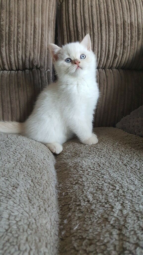 Cream Colourpointed Male British Shorthaired Kittens