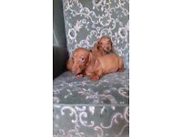 Miniature smooth coat dachshund puppies