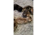 Beautiful tabby tiger striped kitten
