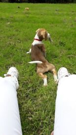Femal beagle puppy Dungannon Tyrone