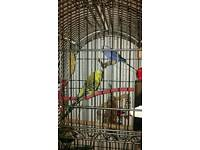 2 beautiful male budgies and large cage