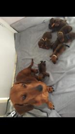 Dashound puppie for sale