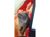 russian blue and black cat for sale