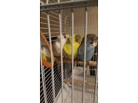 Budgies for Sale @ £20 Each