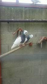 Pigeons for Sale Iranian Togi