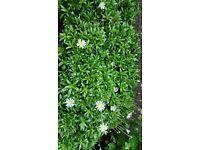 Felicia garden plants