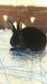 Mini rex doe rabbits for sale