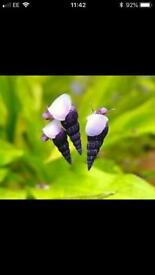 HC- Malaysian Trumpet Snails for Aquarium Fish Tank