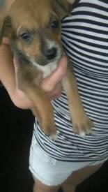 Staff pup