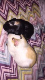 Male an female 3yr old guinea pigs for sale