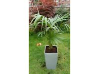 Stunning live Kentia Palm plant display in a silver planter.