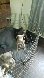 American bully XL puppies
