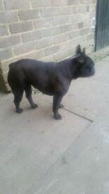 kcc registered french bull dog female for sale