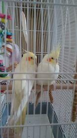 Pair of Baby Cockatiels