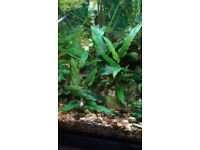 Fish tank Tropical - Live plants and guppies from £1 only