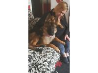 For sale 19 month old alsatian please pread info befor contacting me