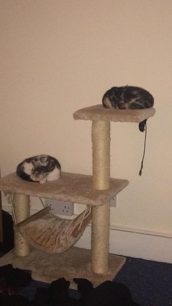 2 Tortoise shell Kittens