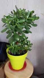 Indoor plant money tree