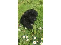 F1 Cockapoo Puppies Vet Checked & PRA/FN Clear