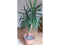 6ft tall Yucca Plant