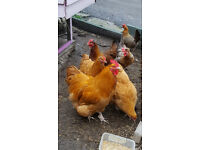 orpington and welsummer hens and sicilian buttercups for sale