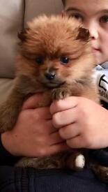 Teddy bear Pomeranian's