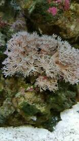 Soft coral frags