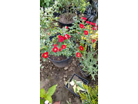 Roses;;Rosemary plants