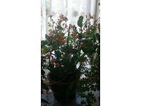 Evergreen plant