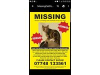 Missing ! Lost tabby cat